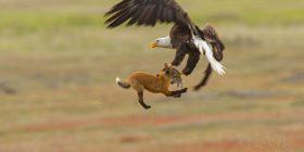 EagleFoxRabbit
